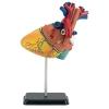 Plastový model Revell Revell X-Ray Anatomy Model Heart 02101