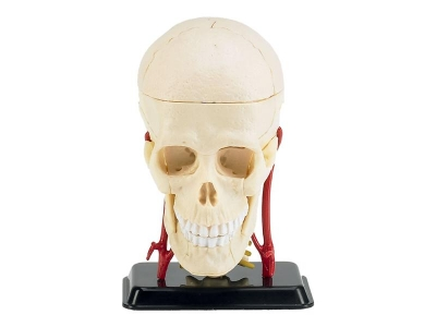 Plastový model Revell Anatomy Model Cranial Nerve Skull 02102